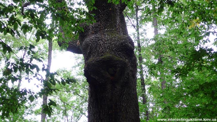 Причудливые формы дуба в ур. Криниченька