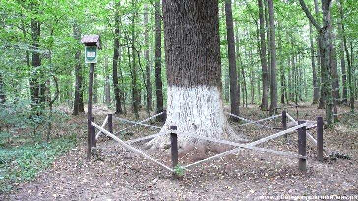 Старинный дуб в урочище Криниченька за Поташней