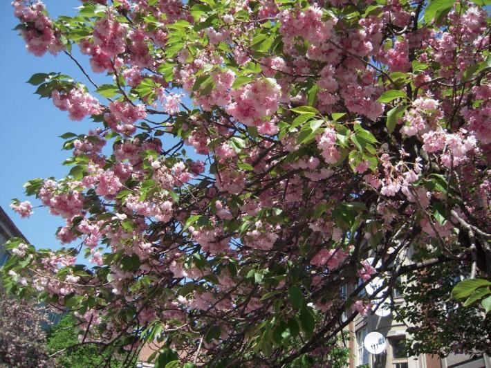 На майские праздники в Ужгороде цветут сакуры