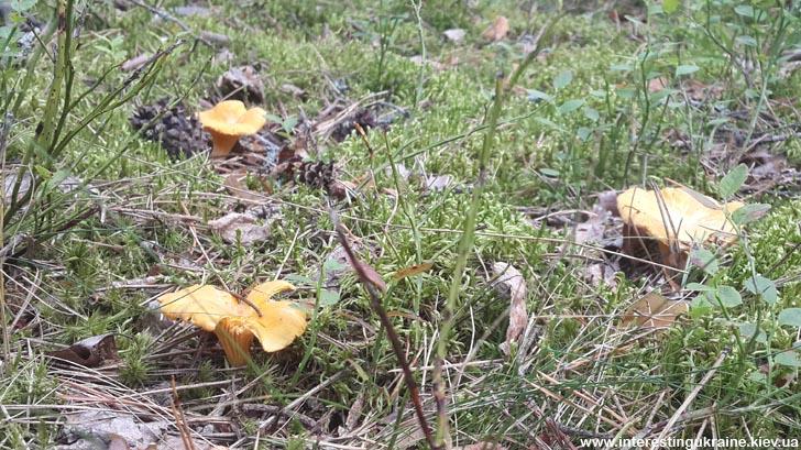 Грибы лисички в лесах Полесья